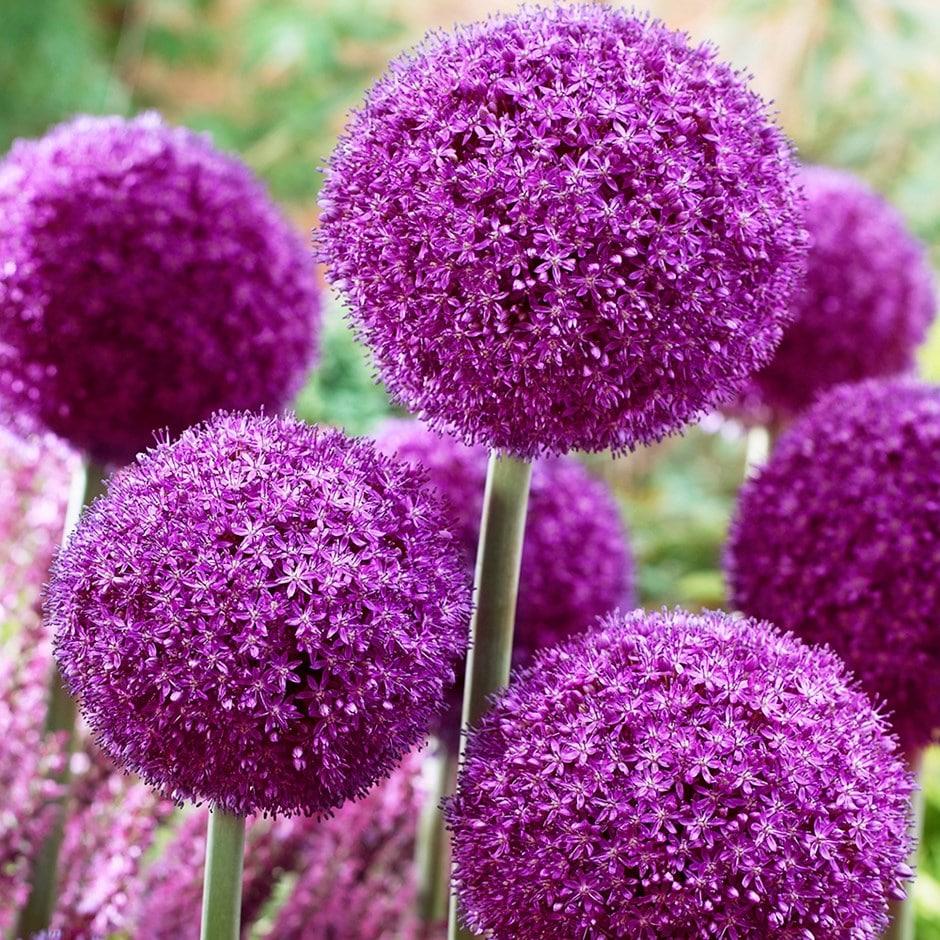 buy ornamental onion bulb allium ambassador delivery by crocus. Black Bedroom Furniture Sets. Home Design Ideas