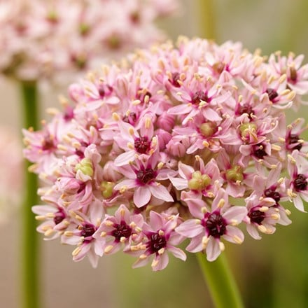 Allium Red Eye