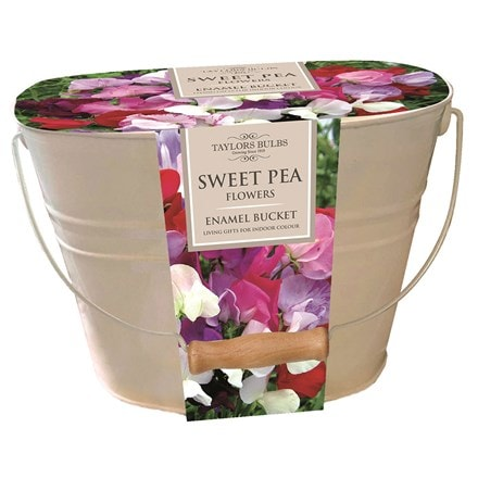 Sweet peas in a gift bucket