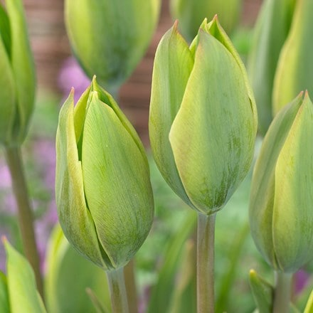 Tulipa Evergreen