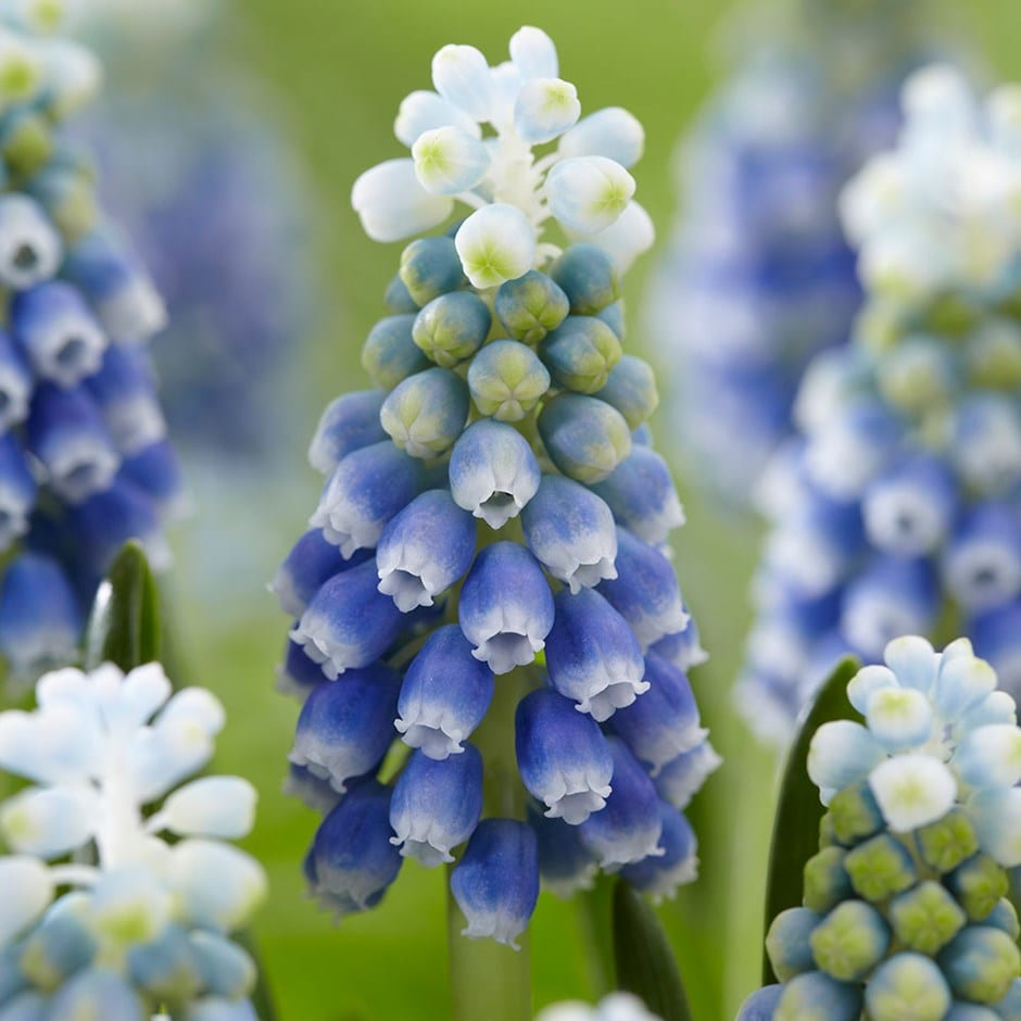 grape hyacinth bulbs