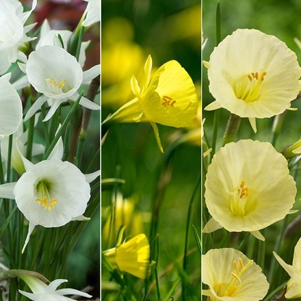 Rockery daffodil collection