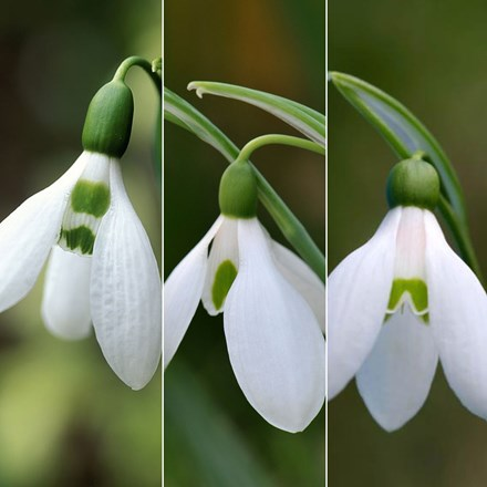 Award winning snowdrop collection