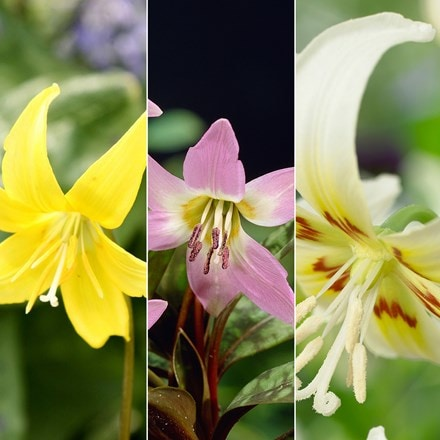 Erythronium collection
