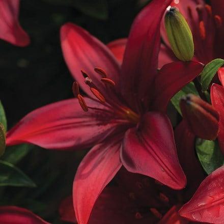 Lilium Cavoli