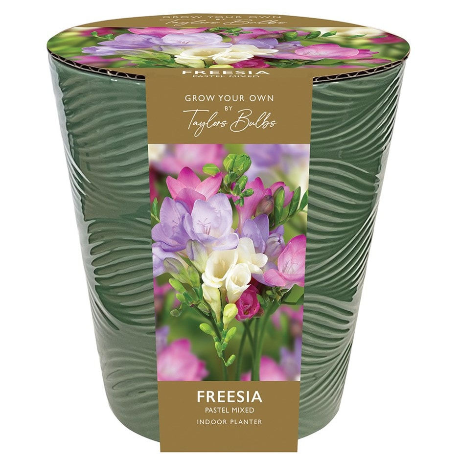 Buy Indoor Freesia Gift Set Freesia Pastel Mixed In A Pot
