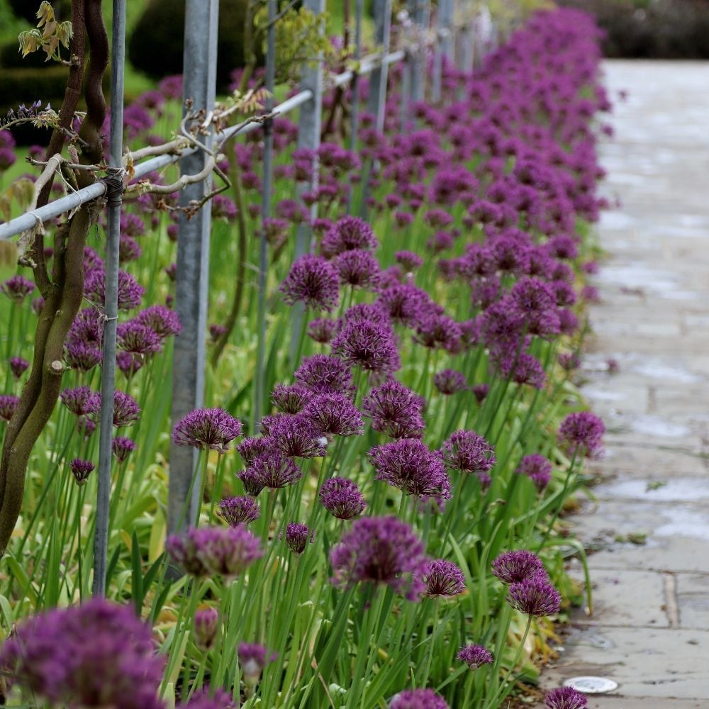 Buy Dutch Garlic Bulbs Allium Purple Rain Delivery By