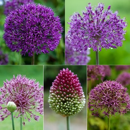 Amethyst allium collection