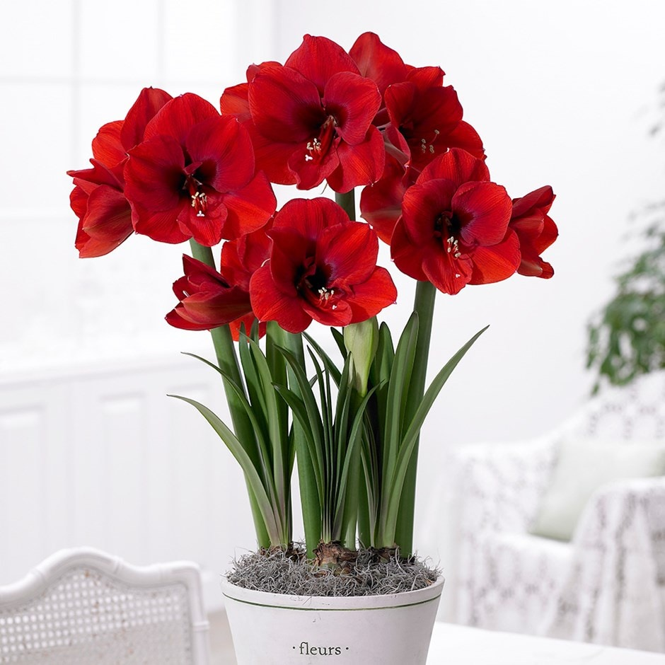 Buy Amaryllis Bulb Hippeastrum Galaxy Group Red Lion