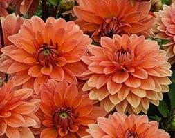 Natural - organic decorative dahlia tuber