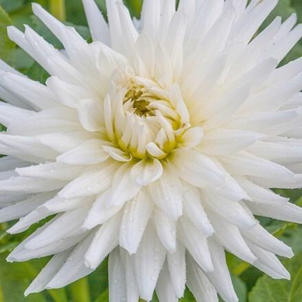 Dahlia My Love - Organic bulb