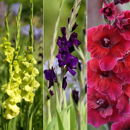 Venetian Gladioli collection