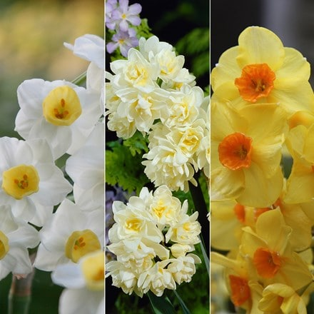 Summer flowering daffodil bulb collection
