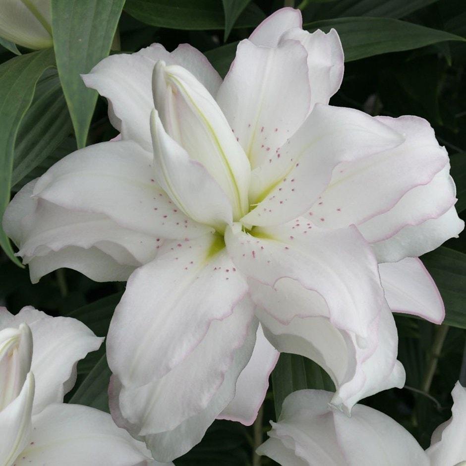 Buy Lotus Lily Bulb Lilium Lotus Beauty Lotus Lily Series