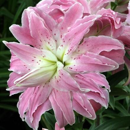 Lilium Lotus Elegance (Lotus Lily Series)