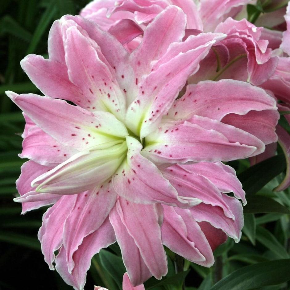 Lotus lily bulb