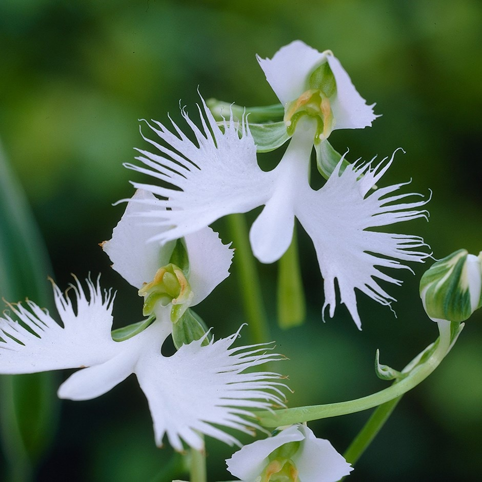 Buy egret orchid syn habenaria radiata pecteilis radiata 45 pecteilis radiata mightylinksfo