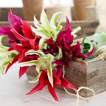 Bright stars tulip collection