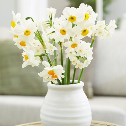 Sweet and fragrant daffodil collection