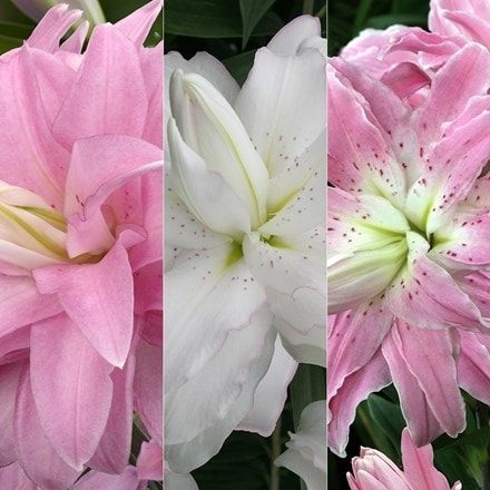 Lilium Double lotus lily collection