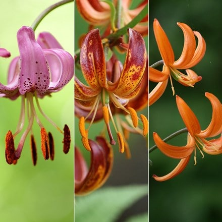 Lilium Turks cap lily collection
