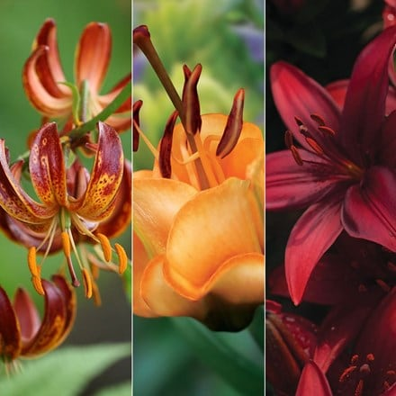 Lilium Fiery lily collection