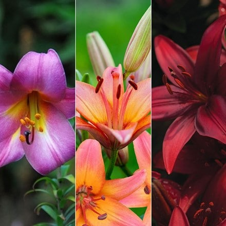 Lilium Sunset lily collection
