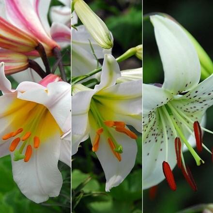 Lilium Top white lilies