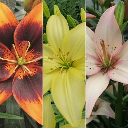 Lilium Pollen free lily collection