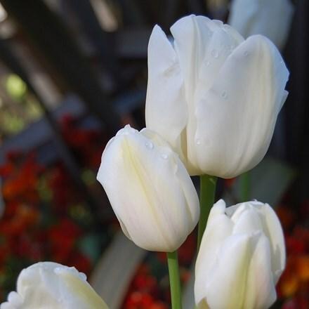 Tulipa Weisse Berliner