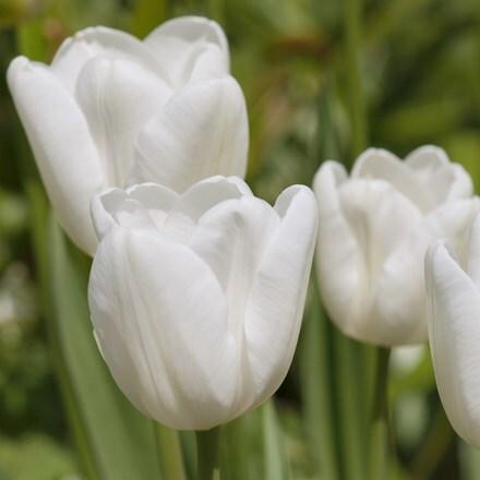 Tulipa Pim Fortuyn (PBR)