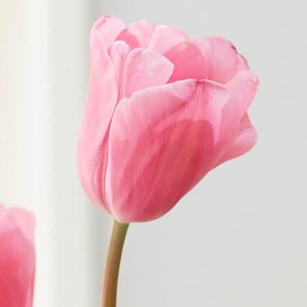 Tulipa Rosalie