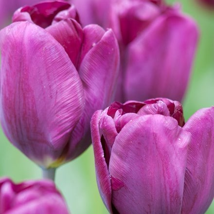 Tulipa Purple Lady (PBR)