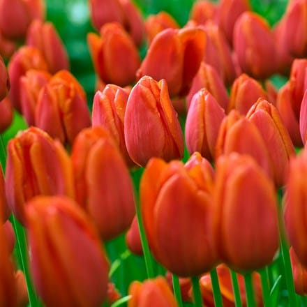 Tulipa Orange Cassini
