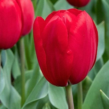 Tulipa Kingsblood