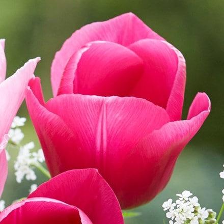 Tulipa Carola