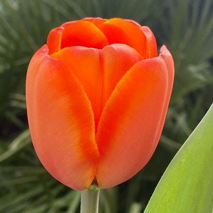Tulipa Asahi