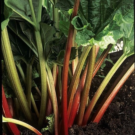 rhubarb Stockbridge Arrow
