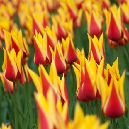 Tulipa Synaeda King