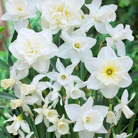 Narcissus Snow Fusion