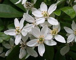 Mexican orange blossom