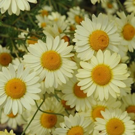 Anthemis tinctoria E.C. Buxton