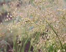 common quaking grass