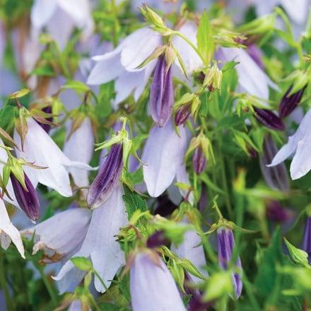 Campanula Iridescent Bells ('Iribella') (PBR)
