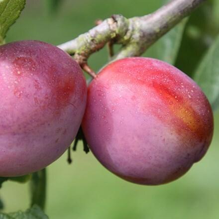 plum Victoria