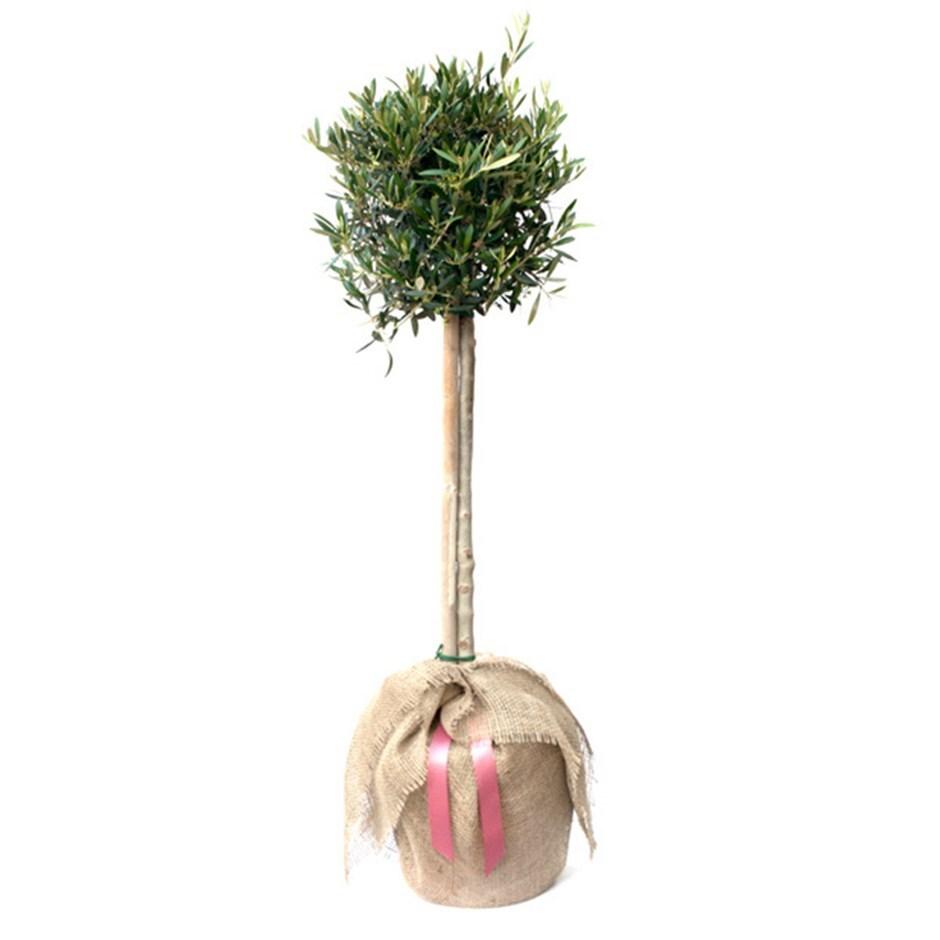olive tree - ( mini  ½ standard)