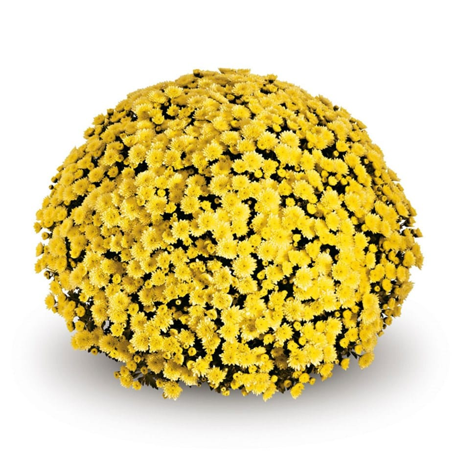 Buy Pot Mum Chrysanthemum Jasoda Yellow Pbr Delivery By