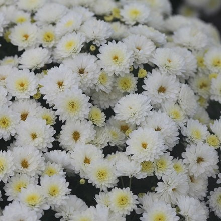 Chrysanthemum Jasoda White (PBR)
