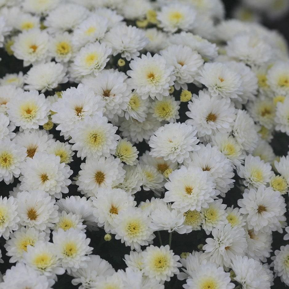 Buy Pot Mum Chrysanthemum Jasoda White Pbr