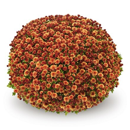 Chrysanthemum Jasoda Dark Orange (PBR)